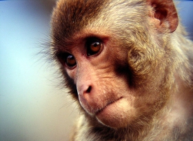 bonnet_macaque.jpg